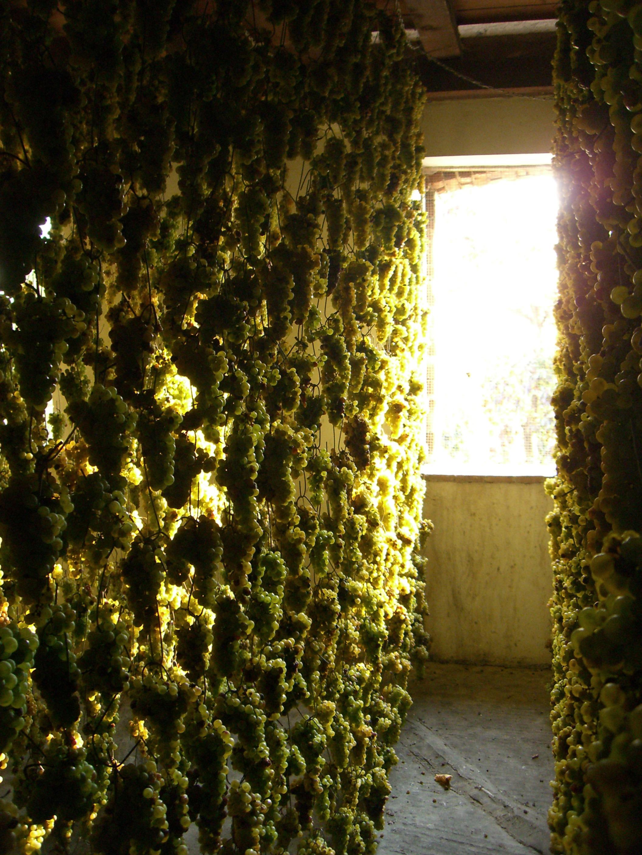 Tocai Friulano Grape Friulano Grape Variety